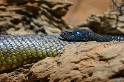 Where do you find taipan snakes?
