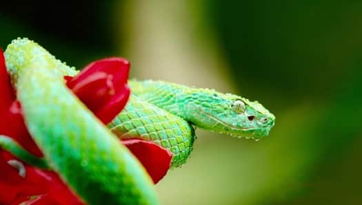 which green snakes are venomous