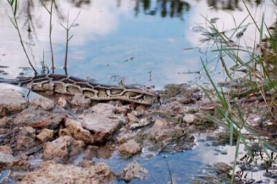 why are burmese pythons a problem in florida?