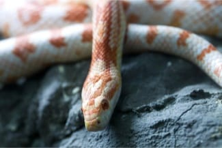 Corn Snakes as pets