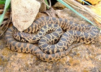 Gopher snakes as pets