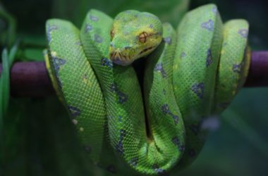 How to Care for Green Tree pythons