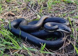 Rat snakes as pets