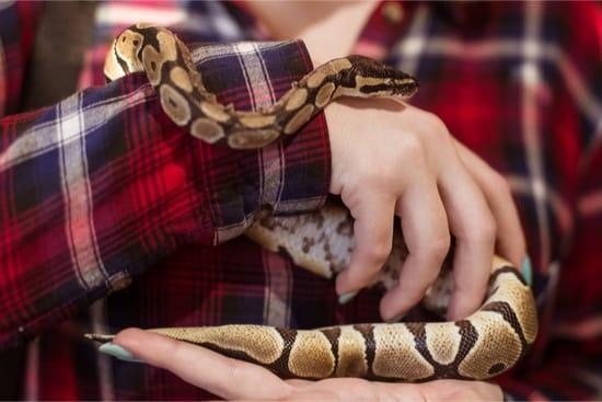 ball python handling frequency