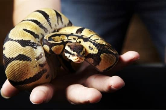 ball python morph health issues