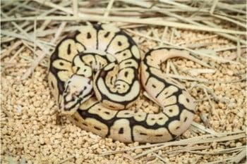 ball pythons as pets