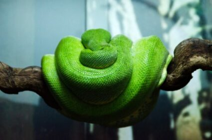 caring for a green tree python
