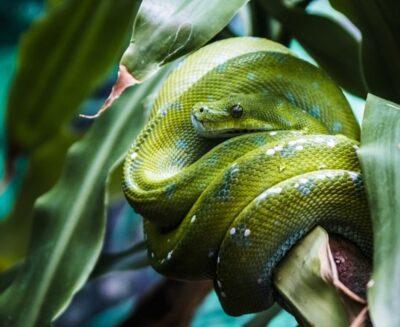 do green tree python make good pets?