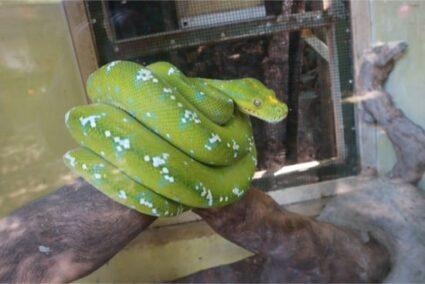 green tree python pet care