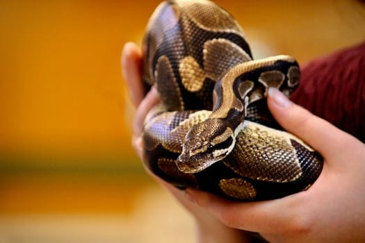 how often should i handle my ball python?