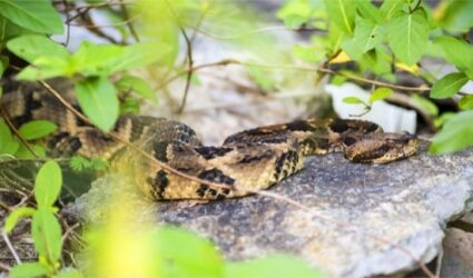 is a timber rattlesnake bite deadly?