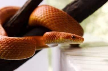 most popular pet snake breeds