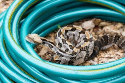 timber rattlesnake behavior