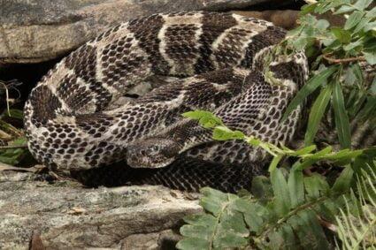 timber rattlesnake bite effects