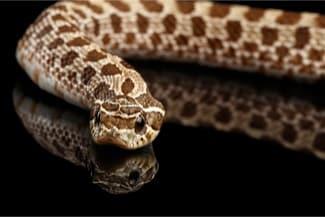 western hognose snakes as pets