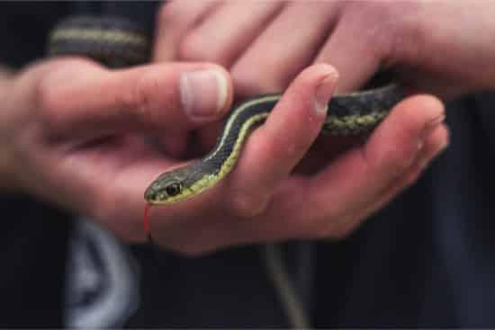 what do baby garter snakes eat?