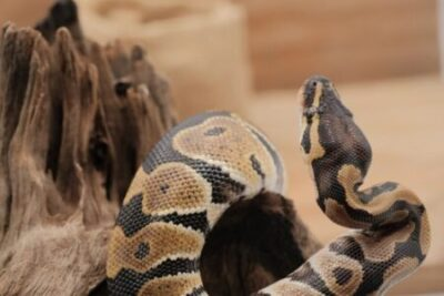 ball python breathing noises
