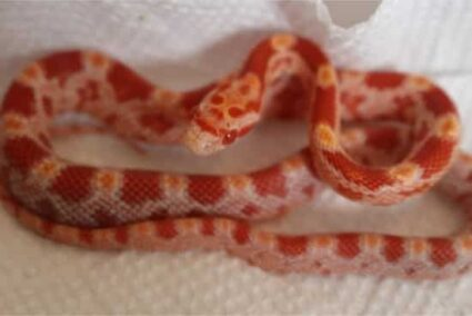 food for baby corn snakes