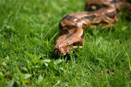 food for boa constrictor