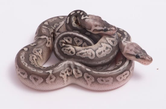 how long can baby ball pythons go without eating?