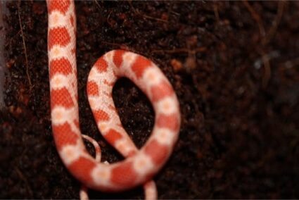 how long can baby corn snakes go without eating?