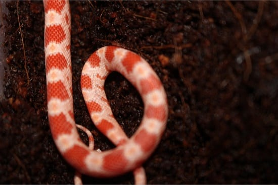 When to Start Feeding Baby Corn Snakes — Snakes for Pets