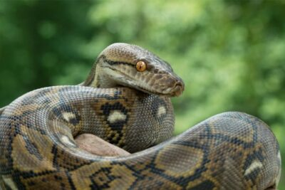 how many pounds of pressure can a python exert?
