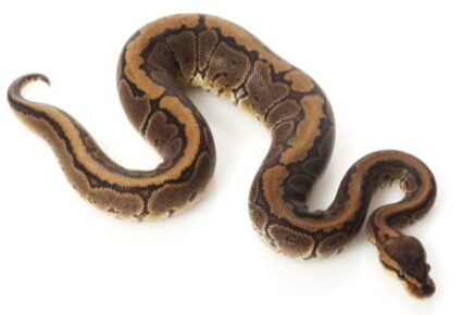 how much do ball python morphs cost?