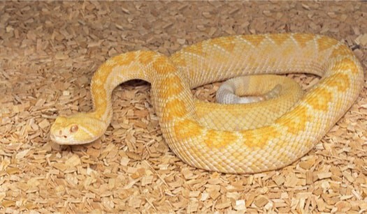 Can You Keep a Rattlesnake as a Pet? — Snakes for Pets