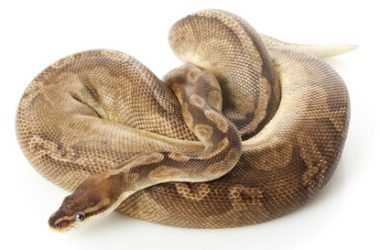 sunset ball python morph