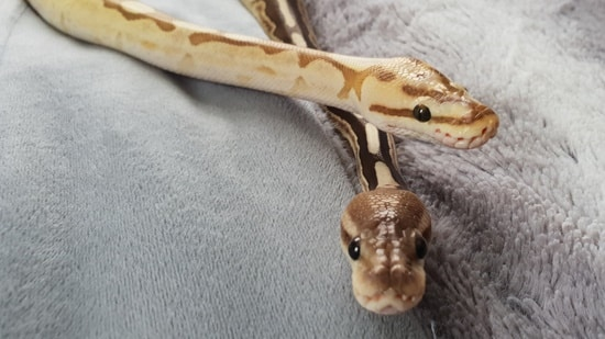 what causes respiratory infection in ball pythons?
