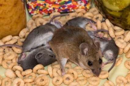 what to feed feeder rats