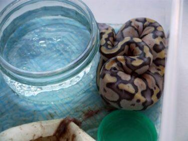 How Fast Do Baby Ball Pythons Grow?