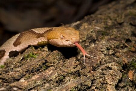 can a copperhead kill a human?