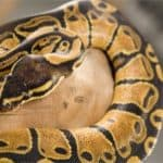 corn snake and ball python differences