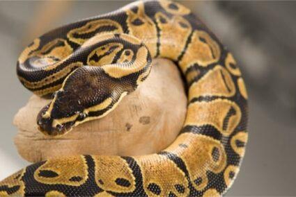 corn snake and ball python differences