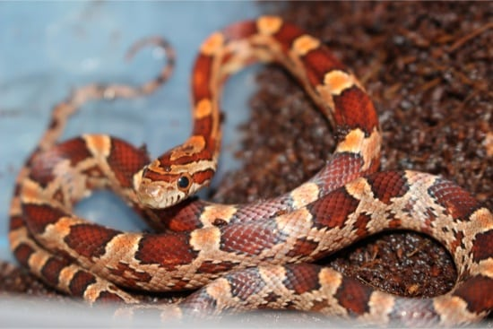 corn snake bedding alternatives