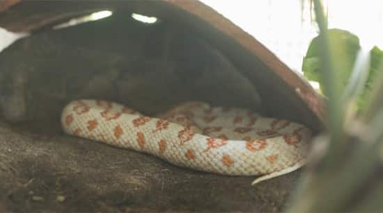 corn snake cage bedding