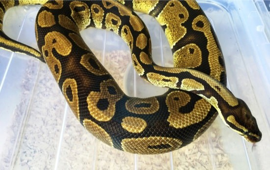 corn snake or ball python pet
