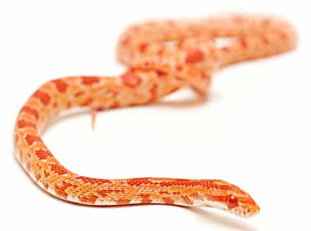 corn snake vs. ball python for beginners