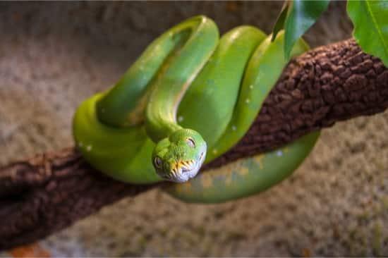 designer green tree python