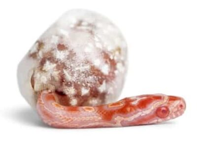 do corn snakes eat their own eggs?