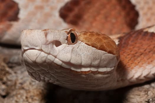 do you need a license to own a venomous snake?