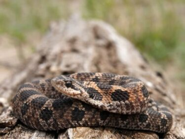 hognose snake color