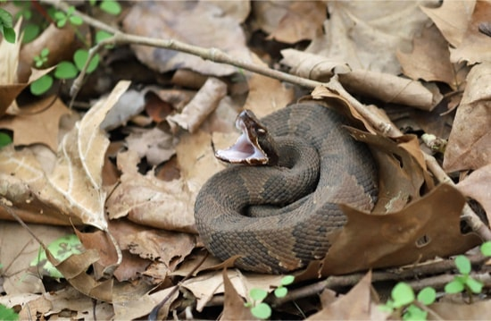 how fast can a cottonmouth kill you?