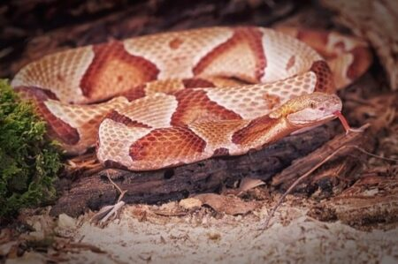 how fast will a copperhead bite kill you?