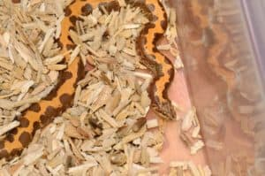 kenyan sand boa as a pet