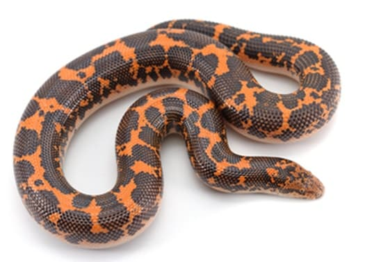 Kenyan sand boa colors