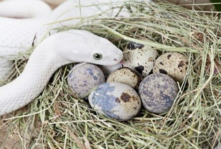 snake eats her own eggs