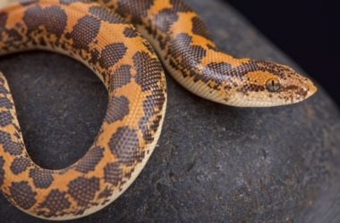 why kenyan sand boas are good pets?